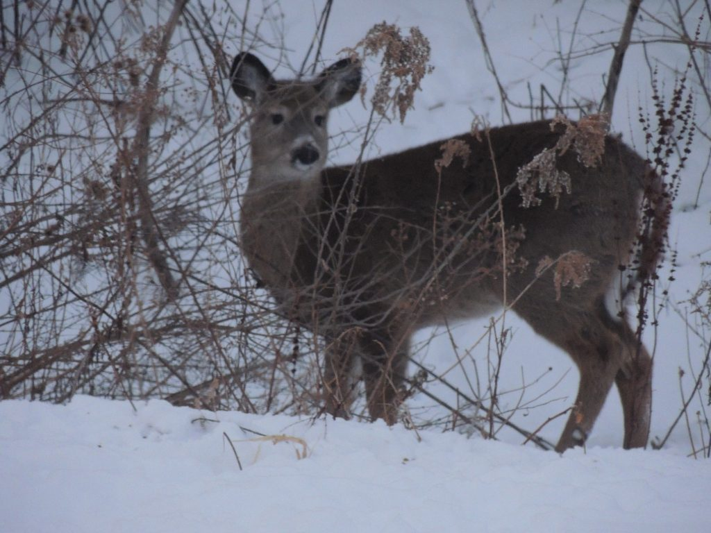 Upstate Deer